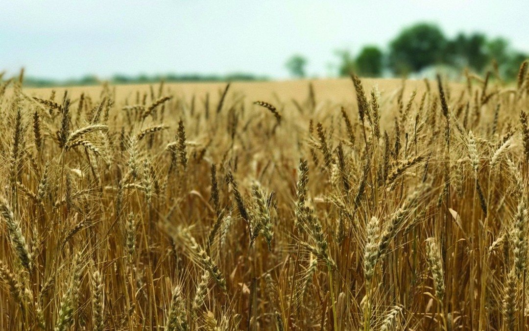 What Maryland Farmers Want You To Know About Wheat and Glyphosate