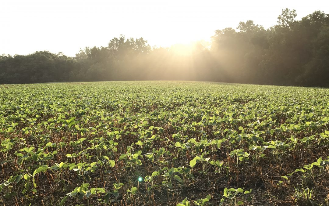 Maryland Soybeans
