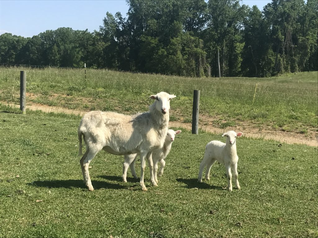 Beautiful Maryland Goats