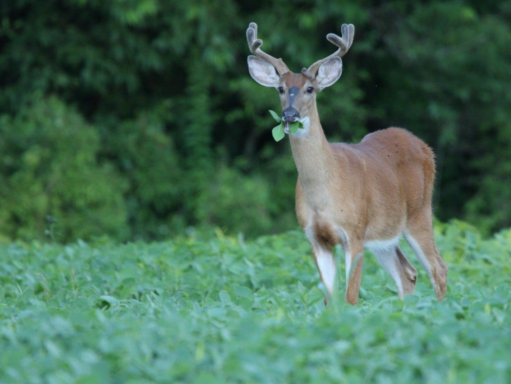 Whitetail- n crop