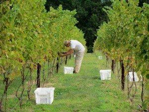 Maryland Vineyard