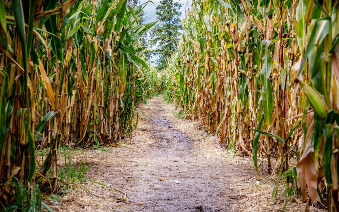 Crazy for Corn Mazes? Maryland Farms Have the Answer