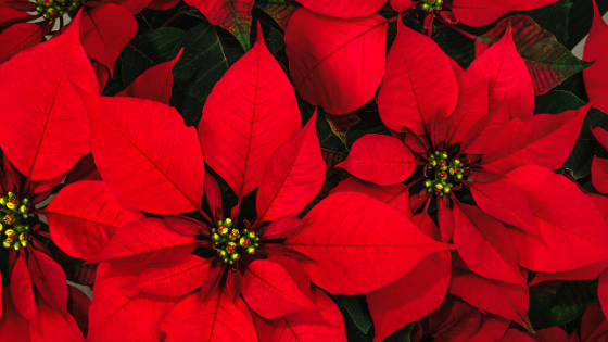 For Poinsettia Growers, Every Day is Christmas