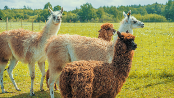 Alpacas Expand Diversity of Maryland Farms